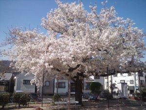 荒田八幡公園の桜が満開 2014