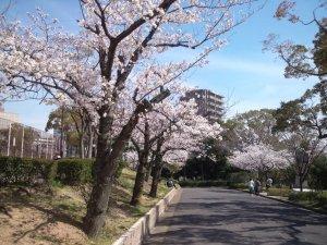 大倉山公園の桜1