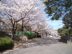 大倉山公園の桜2