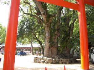 鳥居ごしに見るクスノキの巨木