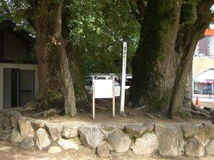 長田神社 クスノキの巨木