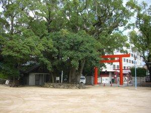 長田神社 境内から見たクスノキの巨木
