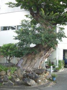 長田神社前のケヤキ