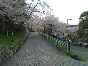 会下山公園の桜 1