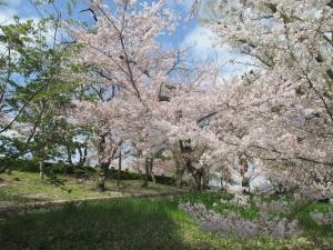 会下山公園の桜