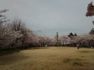 会下山公園の桜 6