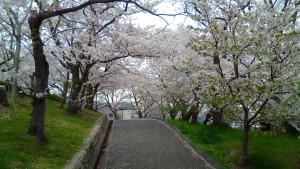 会下山公園の桜 7