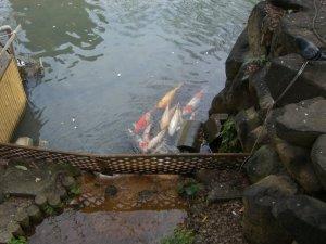 生田の池の鯉