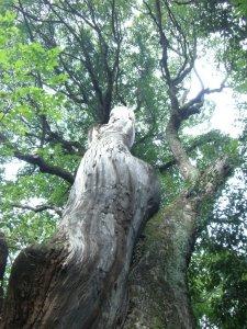 生田の森 巨木1