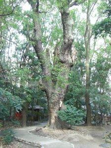 生田の森 巨木2