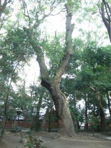 生田の森 巨木3
