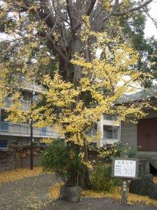 徳照寺 市民の木のイチョウ
