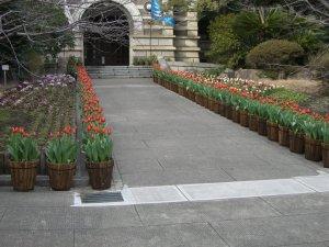 真っ赤なチューリップの花
