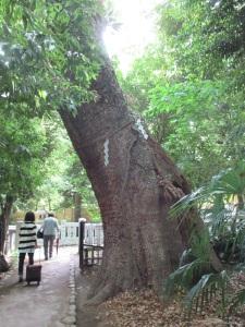 生田の森 再訪 巨木1