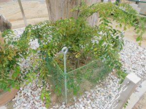 植樹された欅