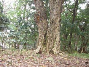 保久良神社 ヤマモモの巨木