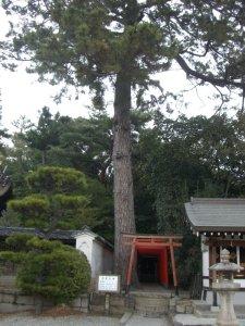 アカマツの木