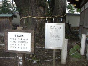 市民の木の「神前の大クス」