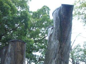 「枯れた巨木」も残っています