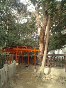 六甲八幡神社 クスノキの巨木