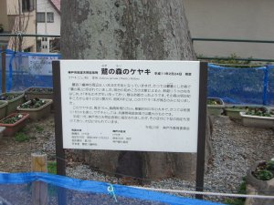 鷺の森のケヤキ 説明板