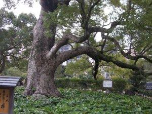 クスノキ 四方に伸びる枝