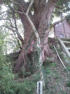 崖の下から見るクスノキの巨木