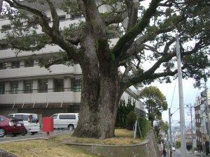 労災病院 クスノキの巨木