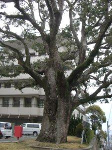 クスノキの巨木 全景