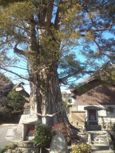 お地蔵さんに守られたような巨木