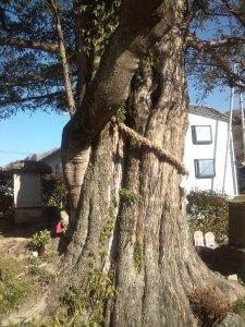 他の木が巻き込むように生えています