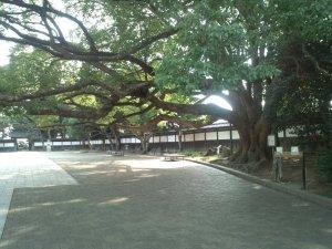 須磨離宮公園 クスノキの巨木