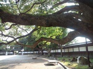 クスノキの枝の下を歩く