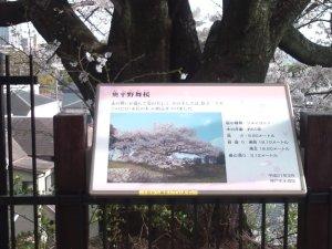 奥平野舞桜 案内