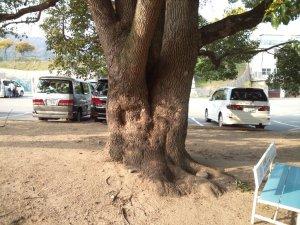 偶然発見した巨木