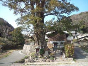 神戸市民の木、郷土記念物のカヤ