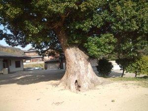 白川大歳神社 クスノキの巨木