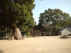拝殿の前あたりからクスノキの巨木を見る