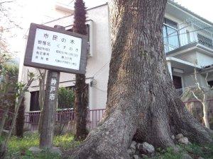 市民の木の指定33号のクスノキ