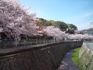 宇治川沿いの桜並木