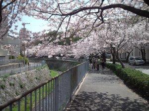 宇治川 桜並木の下から
