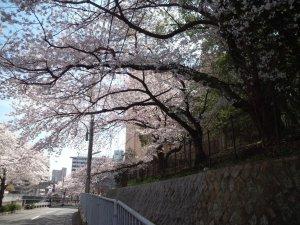 大倉山公園の斜面の桜