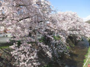 神戸 宇治川の桜 2017