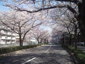 宇治川の桜 2014