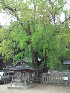 イチョウの木 全景