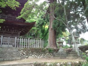 三重塔の前の杉