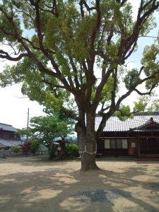 境内中央の大木