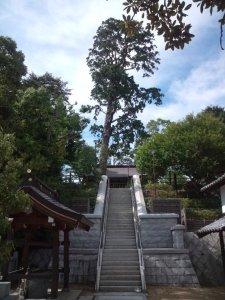 そびえるように立つヒノキの巨木