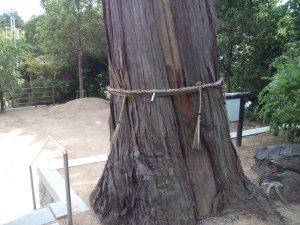 ヒノキの巨木