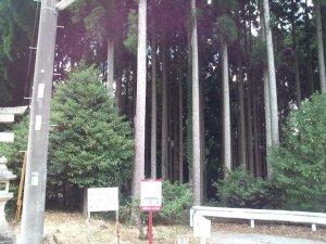 山王神社横の人工林